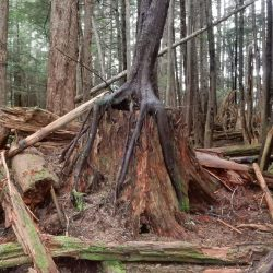 Tree with long roots in Alaska