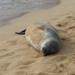 A seal rests on the beach in Kauai, Hawaii