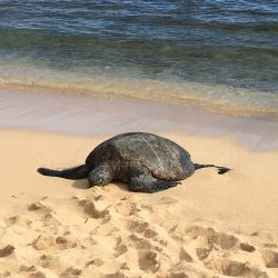 Sea Turtle lying on Poipu beach, Kauai, Hawaii