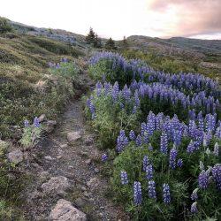Holmavik lupine hiking trail in Iceland