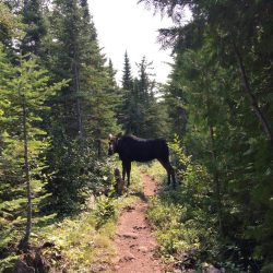 A moose on a trail in Isle Royale National Park