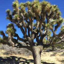 Large Joshua Tree in Joshua Tree National Park