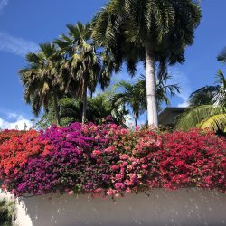 Bougainvillea flowers and palm trees Key West