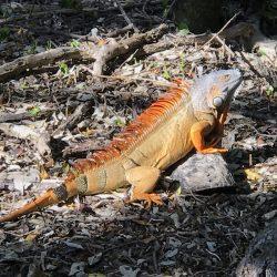 Giant orange lizard