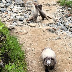 Marmot in North Cascades National Park