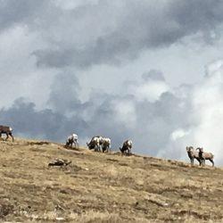 Goats on a mountain