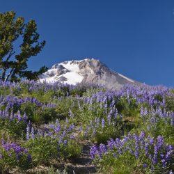 Lupine in bloom below Mt. Hood, OR