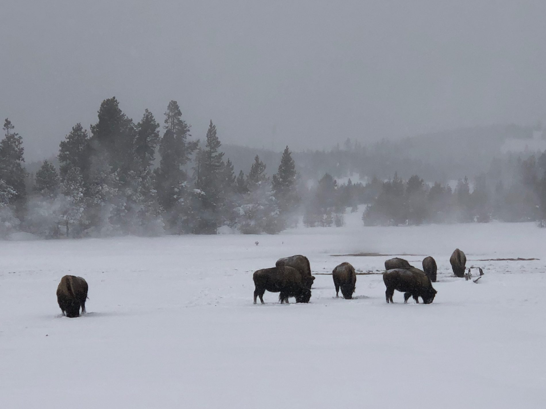 Bison nuzzle for food in Geyser Basin Yellowstone National Park in winter