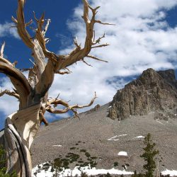 Bristlecone Pine with Wheeler Peak in background, Great Basin National Park