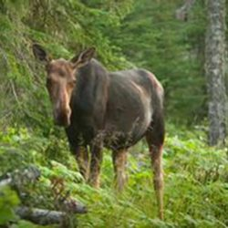 A moose on Isle Royale National Park